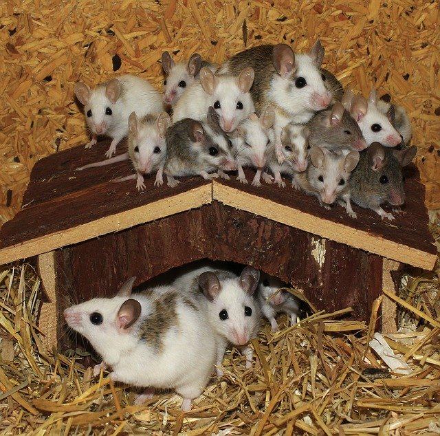 mice-and-rodents