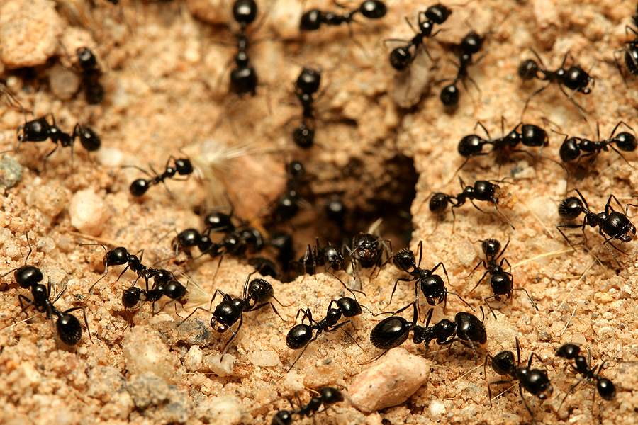 Where Do I Find The Ant Nests